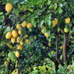 Citrusplant kopen